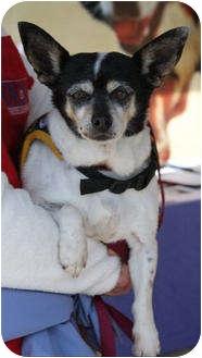 Fox Terrier (Smooth) Dog for adoption in Encinitas (San Diego), California - Gloria