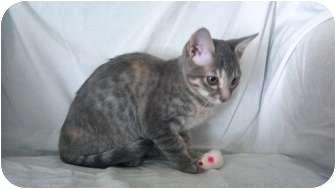 Domestic Shorthair Kitten for adoption in Phoenix, Arizona - Mitzi