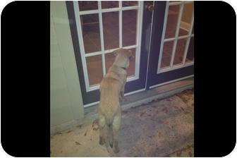 Belgian Malinois/Golden Retriever Mix Puppy for adoption in Baton Rouge, Louisiana - Guinevere