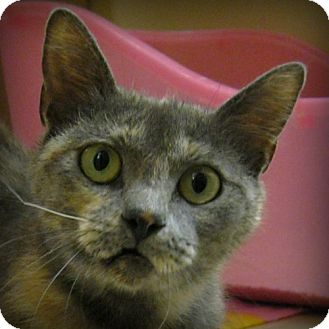 Domestic Shorthair Cat for adoption in Weatherford, Texas - Memow