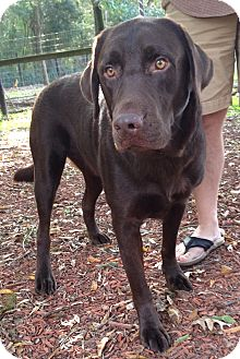 Labrador Retriever Mix Dog for adoption in Olive Branch, Mississippi - Newman's Owner Died Needs Home