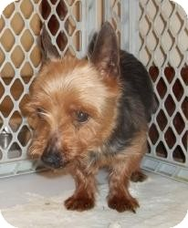 Yorkie, Yorkshire Terrier Mix Dog for adoption in North Benton, Ohio - Tango