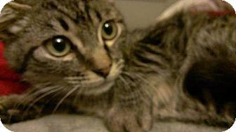Domestic Shorthair Kitten for adoption in San Diego, California - Sampson