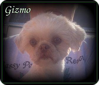 Shih Tzu Dog for adoption in Denver, North Carolina - Gizmo