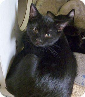 Domestic Shorthair Kitten for adoption in Pueblo West, Colorado - Mick