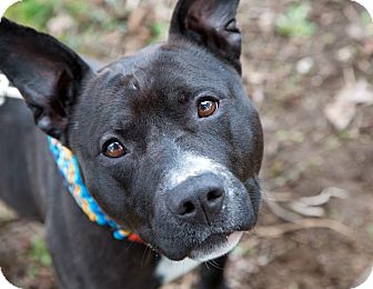 American Pit Bull Terrier/Pit Bull Terrier Mix Dog for adoption in Portland, Oregon - Raquel MCAS