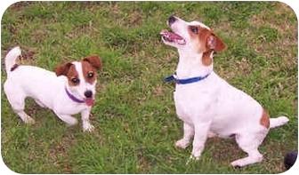 Jack Russell Terrier Dog for adoption in Phoenix, Arizona - LOLA & RILEY