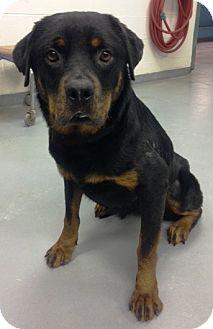 Rottweiler Dog for adoption in Huxley, Iowa - Diamond