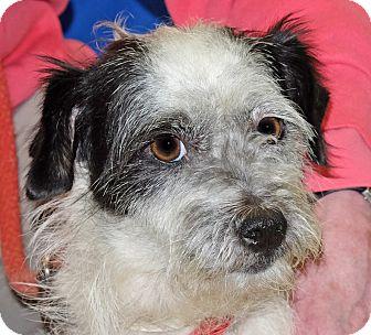 Terrier (Unknown Type, Small) Mix Dog for adoption in Spokane, Washington - Henrietta