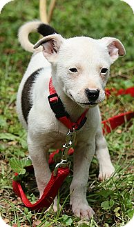 Rat Terrier Mix Puppy for adoption in Portland, Maine - Quinn