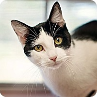 American Bobtail Cat for adoption in Carencro, Louisiana - Doc