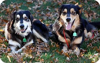 St. Bernard/Bernese Mountain Dog Mix Dog for adoption in New Canaan, Connecticut - Clyde & Bonnie