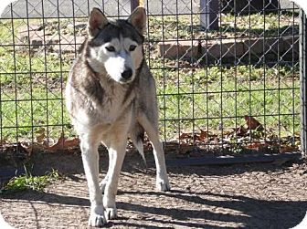 Husky Dog for adoption in Longview, Texas - Xena
