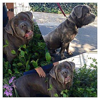 Mastiff/Cane Corso Mix Dog for adoption in Sacramento, California - Bo