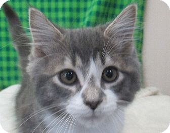 Domestic Longhair Kitten for adoption in Lloydminster, Alberta - Snowstorm