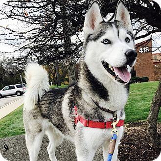 Husky Mix Dog for adoption in Wheaton, Illinois - Dakota