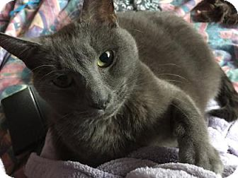 Domestic Shorthair Cat for adoption in Lowell, Massachusetts - Bleau