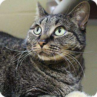 Domestic Shorthair Cat for adoption in Wheaton, Illinois - Dali
