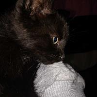 Adopt A Pet :: Storm - Covington, PA