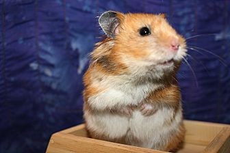 Hamster for adoption in Pine Bush, New York - Princess Buttercup