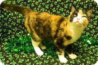 Domestic Shorthair Cat for adoption in Columbus, Nebraska - Penny