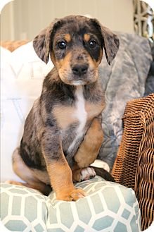 Doberman Pinscher/Catahoula Leopard Dog Mix Puppy for adoption in Southington, Connecticut - Zorey