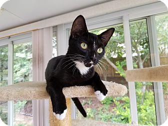 Domestic Shorthair Cat for adoption in Stafford, Virginia - Legolas