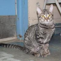 Domestic Shorthair/Domestic Shorthair Mix Cat for adoption in Inverness, Florida - BELLA