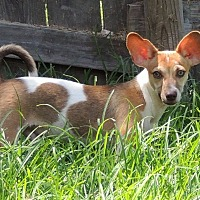 Adopt A Pet :: Lucas - Joplin, MO