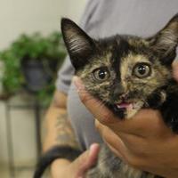 Adopt A Pet :: 36061533 - Cleveland, AL
