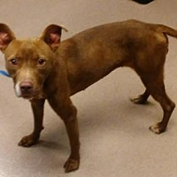 American Pit Bull Terrier Mix Dog for adoption in Decatur, Georgia - Hannah