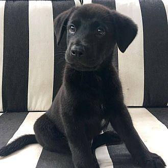Labrador Retriever Mix Puppy for adoption in CUMMING, Georgia - Tango