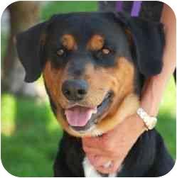 Rottweiler Mix Dog for adoption in Berkeley, California - Margot