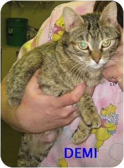 Domestic Shorthair Cat for adoption in Ottawa, Illinois - Demi