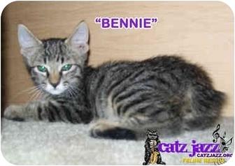 Manx Kitten for adoption in Cedar Creek, Texas - Bennie + Jerrie
