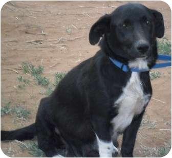 Corgi/Basset Hound Mix Dog for adoption in Anton, Texas - Venus