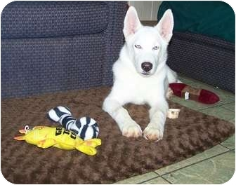 Husky Puppy for adoption in Antioch, Illinois - Ice