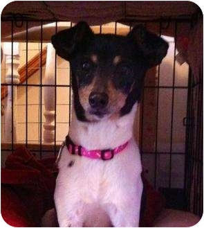 Rat Terrier Mix Dog for adoption in Hammonton, New Jersey - cricket