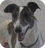 Greyhound Dog for adoption in Swanzey, New Hampshire - Jasper