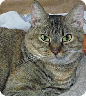 Domestic Shorthair Cat for adoption in Seminole, Florida - Sheena