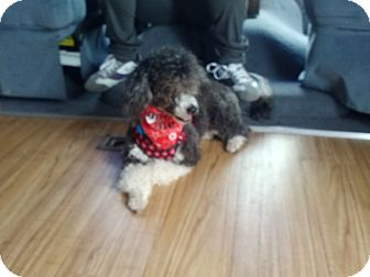 Poodle (Miniature) Dog for adoption in Brownsville, Texas - Garu