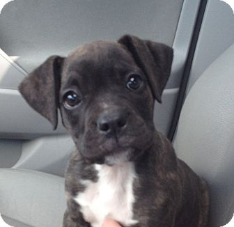 Boxer Puppy for adoption in Cranford, New Jersey - Kya