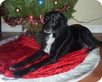 Labrador Retriever/Border Collie Mix Dog for adoption in Las Vegas, Nevada - Jesse