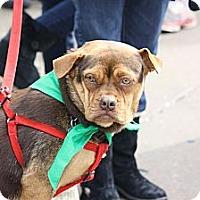 Adopt A Pet :: Cora - North Wales, PA
