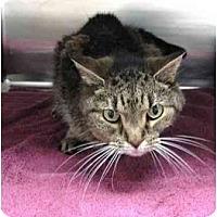 Adopt A Pet :: Miss Kitty - Bayonne, NJ