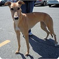 Adopt A Pet :: Encore - N. BABYLON, NY