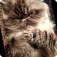 Adopt A Pet :: Blueberry - white settlment, TX