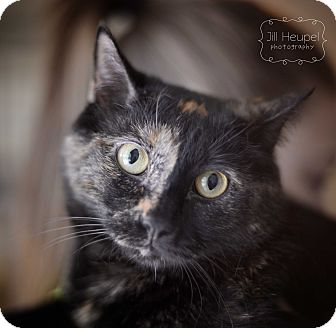 Domestic Shorthair Cat for adoption in Edwardsville, Illinois - Patches