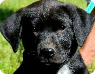 Labrador Retriever Mix Puppy for adoption in Wakefield, Rhode Island - DUMPLIN(ADORES CHILDREN!!)