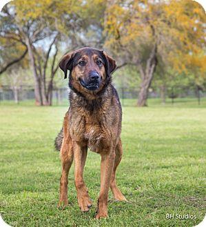 Anatolian Shepherd/Shepherd (Unknown Type) Mix Dog for adoption in Conroe, Texas - Mac